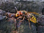 أهم المعلومات عن حشرة الدبور، والفرق بينه وبين النحلة