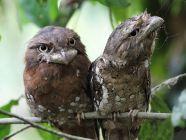 طائر فم الضفدع السريلانكي: أهم الحقائق