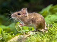 ما لا تعرفه عن الفأر، وما هي أنواعه