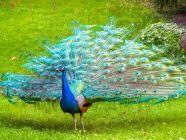 معلومات عن طائر الطاووس لم تعرفها من قبل