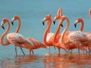 معلومات مميزة عن طائر الفلامنجو (النحام الوردي)
