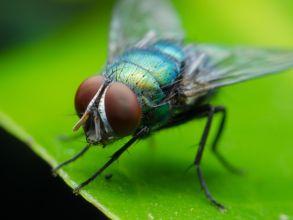كم يبلغ وزن حشرة الذبابة؟