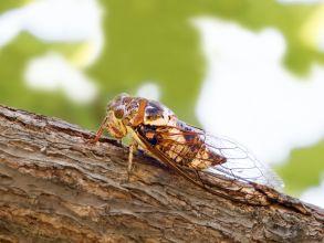 ما هي حشرة السيكادا، أو الزيز؟