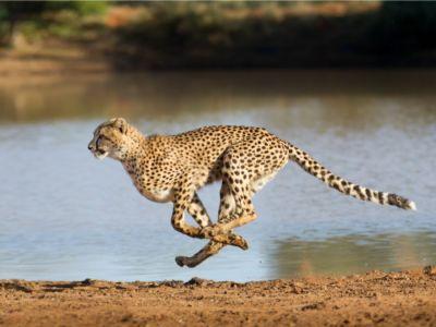 اكتشف أسرع حيوان بري في العالم، وحقائق مدهشه عنه