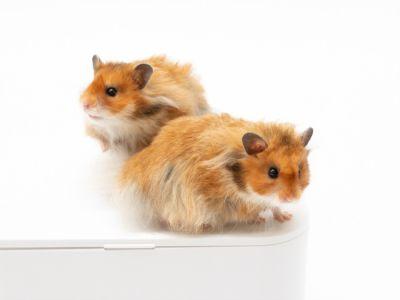 اكتشف الفرق بين الهامستر والفأر: حقائق مدهشة