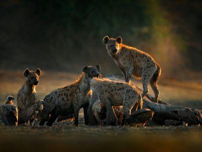 الضباع: أبرز الحقائق المتعلقة بهذا الحيوان المفترس