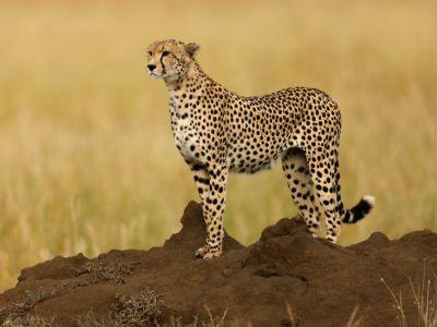 تعرف على الفهد: أسرع حيوان على وجه الأرض