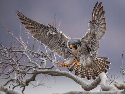 طائر الشاهين: أنواعه، وصفاته، وأكثر