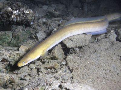 كم عدد بيض ثعبان البحر في الحمل الواحد؟