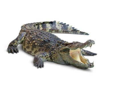 كم وزن التمساح؟
