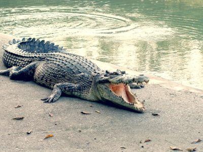 كيف يهضم التمساح الطعام؟