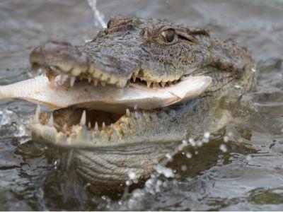 ماذا يأكل تمساح النيل؟
