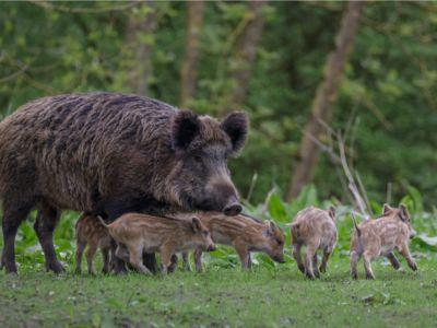ما هو حيوان الحلوف، أو الخنزير البري؟