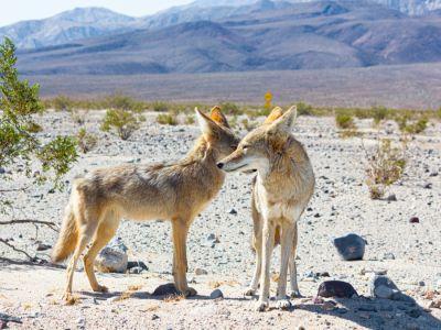 ما هو حيوان القيوط، أو الذئب البري؟
