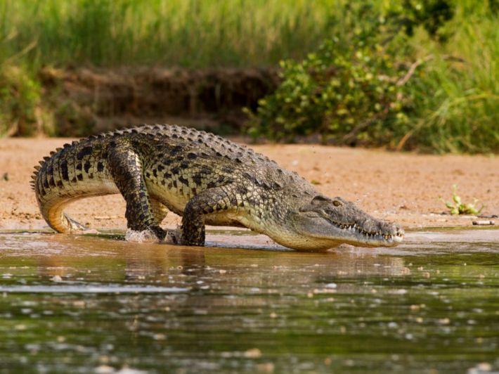 حقائق مدهشة حول تمساح النيل، اكتشفها!