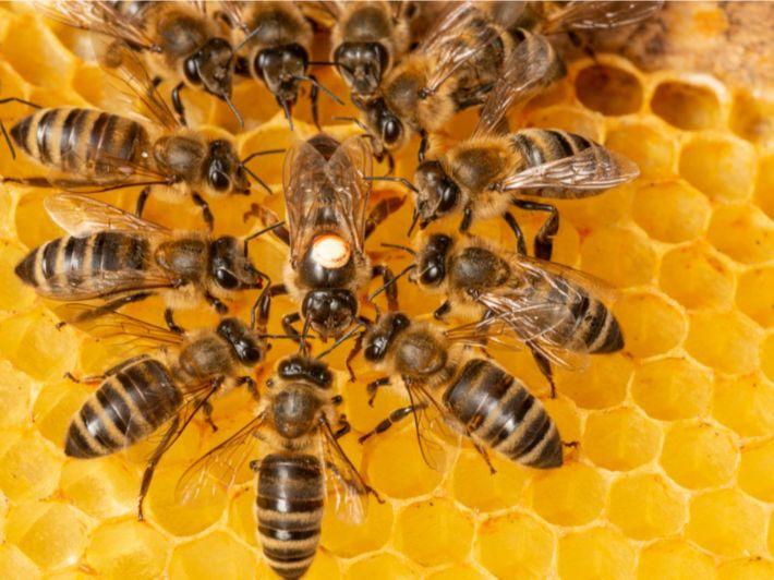 حقائق ومعلومات مدهشة حول خلايا النحل