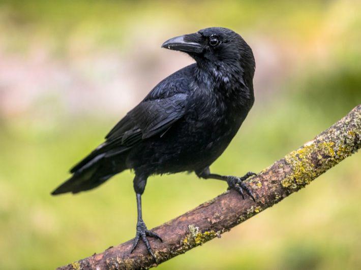 طائر الغراب: تعرف على أغرب المعلومات والحقائق