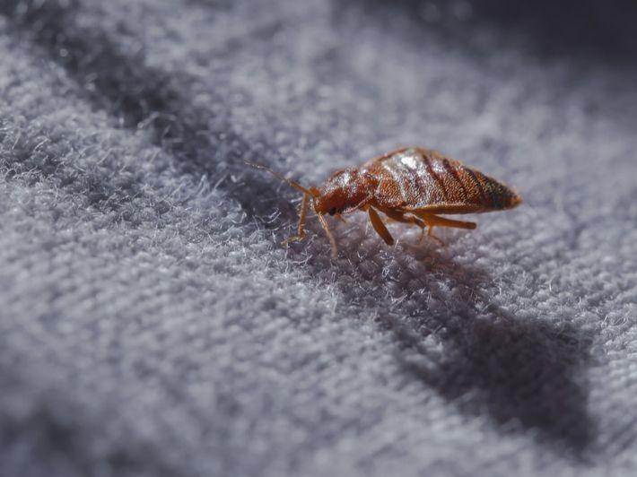 كم تعيش حشرة البق؟ تعرف على دورة حياتها