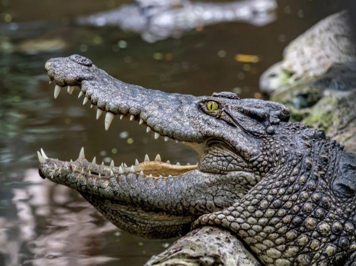 كم طول أطول تمساح بالعالم؟