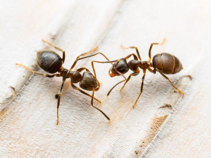 لماذا تُعَد النملة حشرة؟ وما الصفات التي جعلتها كذلك