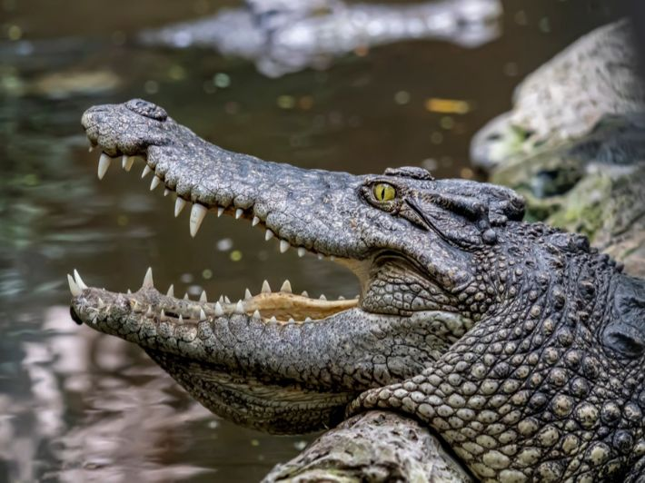 ما هو لقب التمساح؟