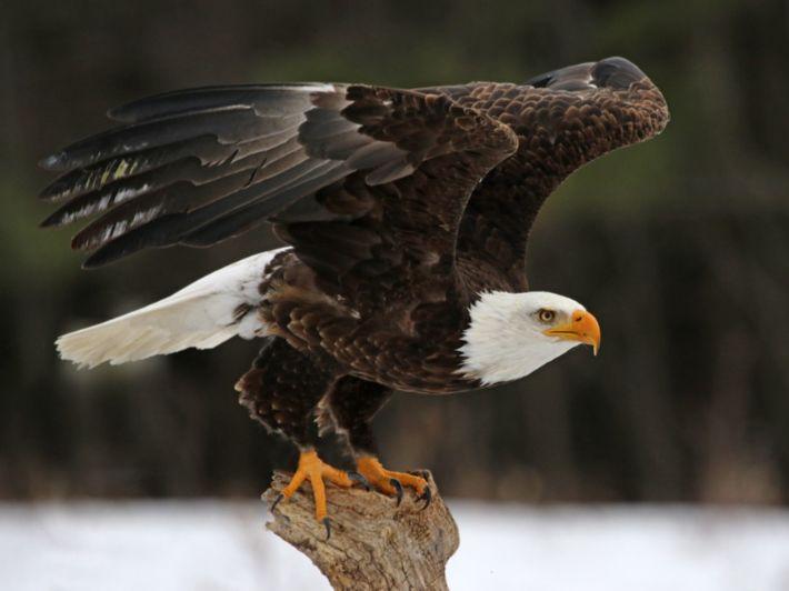 معلومات عن طائر العقاب، وصفاته، وطرق عيشه