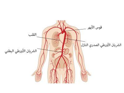 الأورطي: أكبر وأهم شريان في القلب