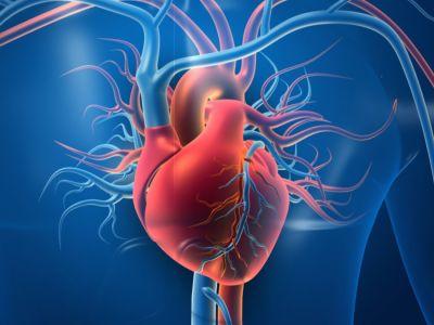 لماذا عضلة القلب لاإرادية؟