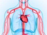 الوريد الرئوي: الموقع، الوظيفة، والأمراض